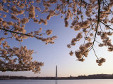 Cherry Blossoms Frame a View of the Washington Monument Photographic Print by Kenneth Garrett