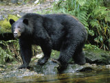 A Black Bear, Ursus Americanus, Walks Along a Rocky Bank Photographie par Bill Curtsinger