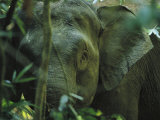 A Close View of an Asian Elephant Peering Through Jungle Brush Photographic Print by Tim Laman