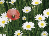View of a Single Poppy in a Field of Daisies Photographic Print by Paul Zahl