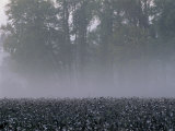 Morning Mist over a North Carolina Cotton Field Photographic Print by Medford Taylor