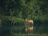 White-Tailed Deer Enjoy Year-Round Asylum at the Aransas Refuge in Coastal Texas Photographic Print by Farrell Grehan