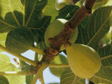 Close-up of Two Large Figs Hanging on a Branch Photographic Print by Robert Sisson