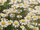 View of a Field of Daisies Photographic Print by Paul Zahl