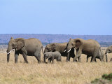 A Group of African Elephants Photographic Print by Norbert Rosing