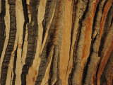 Close view of bark on an old growth cottonwood tree Lmina fotogrfica por Raymond Gehman