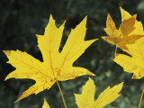 Close View of Big Leaf Maple Leaves in Autumn Color Photographic Print by Marc Moritsch