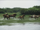 A Herd of Chincoteague Ponies Thunder Through the Assateague Marshes Photographic Print by Medford Taylor
