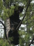 American Black Bear Cubs Climb a Lodgepole Pine Lámina fotográfica por Quinton, Michael S.