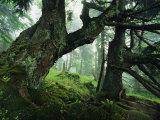 Ancient Fir Trees in Forest Fotografisk tryk af Norbert Rosing