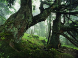 Ancient Fir Trees in Forest Fotografie-Druck von Norbert Rosing