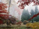 Several Japanese Maple Trees in the Fall Lámina fotográfica por Murawski, Darlyne A.