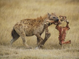 A Spotted Hyena Carries a Piece from a Zebra Carcass Photographic Print by Tim Laman