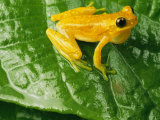 Close View of a Yellow Tree Frog (Hyla Imbricata) Fotografisk tryk af George Grall