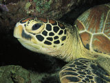 Close View of a Sea Turtles Head Photographic Print by Tim Laman