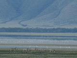 Zebras and Pink Flamingos, Ngorongoro Crater, Tanzania Photographic Print by Skip Brown