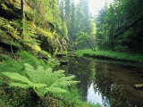 Woodland View with Ferns Along Stream Photographic Print by Norbert Rosing