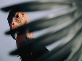 A View of a California Condor Through its Own Primary Feathers Photographic Print by Joel Sartore
