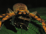 A Furry Spider Preys on an Insect Photographic Print by Tim Laman