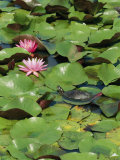 A Painted Turtle Rests on a Water Lily Pad Near Two Pink Flowers Photographic Print by George Grall