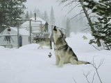 Gray Wolves, Canis Lupus, Surround the Dutchers Snowy Camp Photographic Print by Jim And Jamie Dutcher