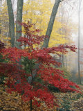 Japanese Maple Leaves in the Fall Photographic Print by Darlyne A. Murawski