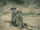 Meerkats Pose for the Camera Photographic Print by Nicole Duplaix