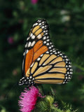 A Monarch Butterfly Sits on a Thistle Flower Photographic Print by George Grall
