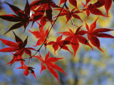 Close Views of Japanese Maple Leaves Fotografisk tryk af Darlyne A. Murawski