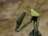 A Close View of a Costa Rican Praying Mantis Photographic Print by Tim Laman