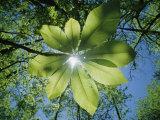 Sonnenlicht dringt durch die Blätter einer Strahlenaralie Fotografie-Druck von Raymond Gehman