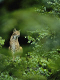 Lynx in Woodland Photographic Print by Norbert Rosing