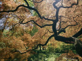 The Gnarled Branches of a Japanese Maple Tree in Spring Photographic Print by Darlyne A. Murawski