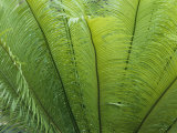 A Close View of the Leaves of a Palm Tree Photographic Print by Nicole Duplaix