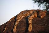 A Leopard, Panthera Pardus, Rests on a Large Tree Limb Fotografisk trykk av Beverly Joubert