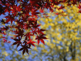 View of a Japanese Maple Branch and Leaves Photographic Print by Darlyne A. Murawski