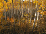A Stand of Aspen Trees Displaying Autumn Colors Photographic Print by Melissa Farlow