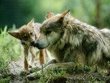 Mexican Gray Wolves Fotografisk trykk av Joel Sartore
