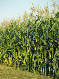 A Field of Mature Cornstalks Ready for Harvest Photographic Print