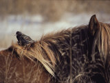 A Grackle Perches in the Mane of a Wild Chincoteague Pony Photographic Print by Medford Taylor