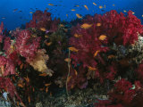 Anthias Fish Swim Near a Reef Wall with Soft and Hard Corals Photographic Print by Tim Laman