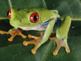 Close-up of a Tree Frog Photographic Print by Paul Zahl
