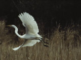 A Greater Egret Takes Flight Photographic Print