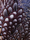 The Feathers of a Pheasant Photographic Print by Farrell Grehan