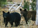 Jeunes ours noirs américains Reproduction photographique par Michael S. Quinton