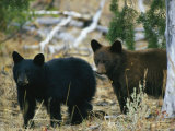 Juvenile American Black Bears Photographic Print by Michael S. Quinton