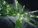 View Looking up the Trunk of a Sycamore Tree Fotografie-Druck von Paul Zahl