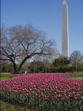 A Bed of Spring Tulips Near the Washington Monument Photographic Print by Medford Taylor