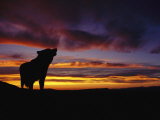 Silhouette of a Gray Wolf at Sunset Fotografisk tryk af Norbert Rosing