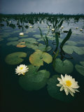 Water Lilies in the Swamp Photographic Print by Farrell Grehan